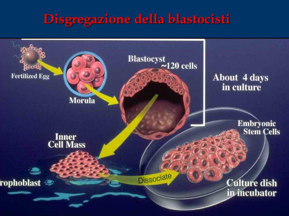 Disgregazione della blastocisti
