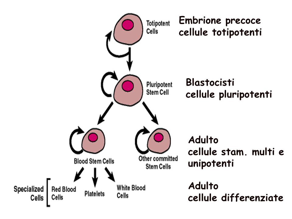 Embrione precoce cellule totipotenti. Blastocisti. cellule pluripotenti. Adulto. cellule stam. multi e unipotenti.