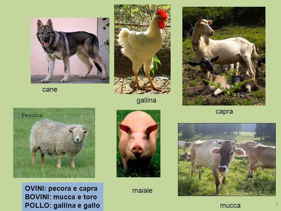 cane gallina capra OVINI: pecora e capra BOVINI: mucca e toro POLLO: gallina e gallo maiale mucca