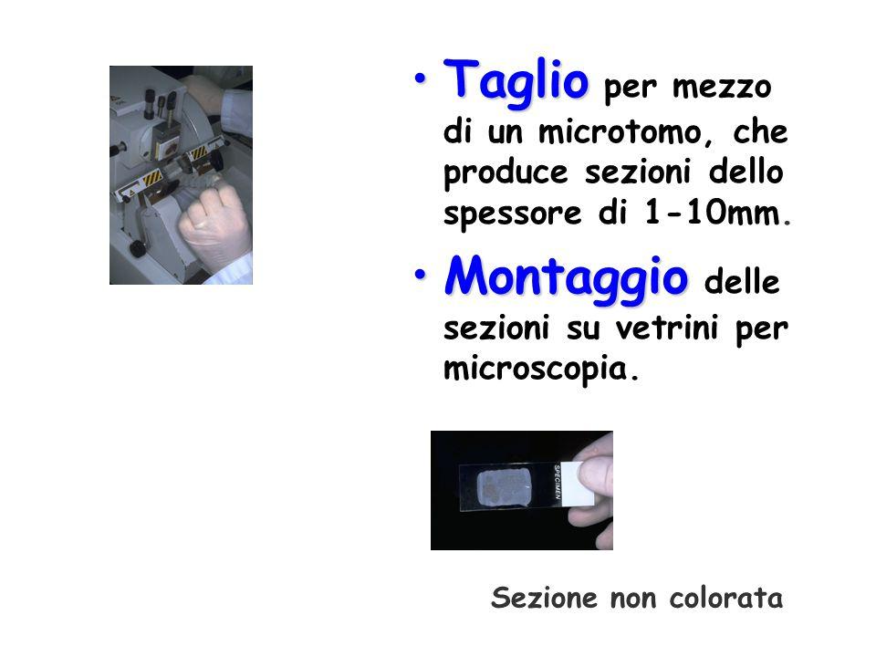 Montaggio delle sezioni su vetrini per microscopia.