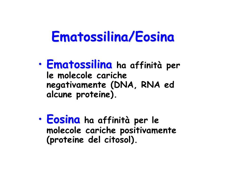 Ematossilina/Eosina Ematossilina ha affinità per le molecole cariche negativamente (DNA, RNA ed alcune proteine).