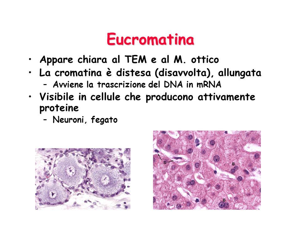 Eucromatina Appare chiara al TEM e al M. ottico