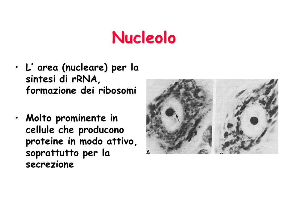Nucleolo L' area (nucleare) per la sintesi di rRNA, formazione dei ribosomi.