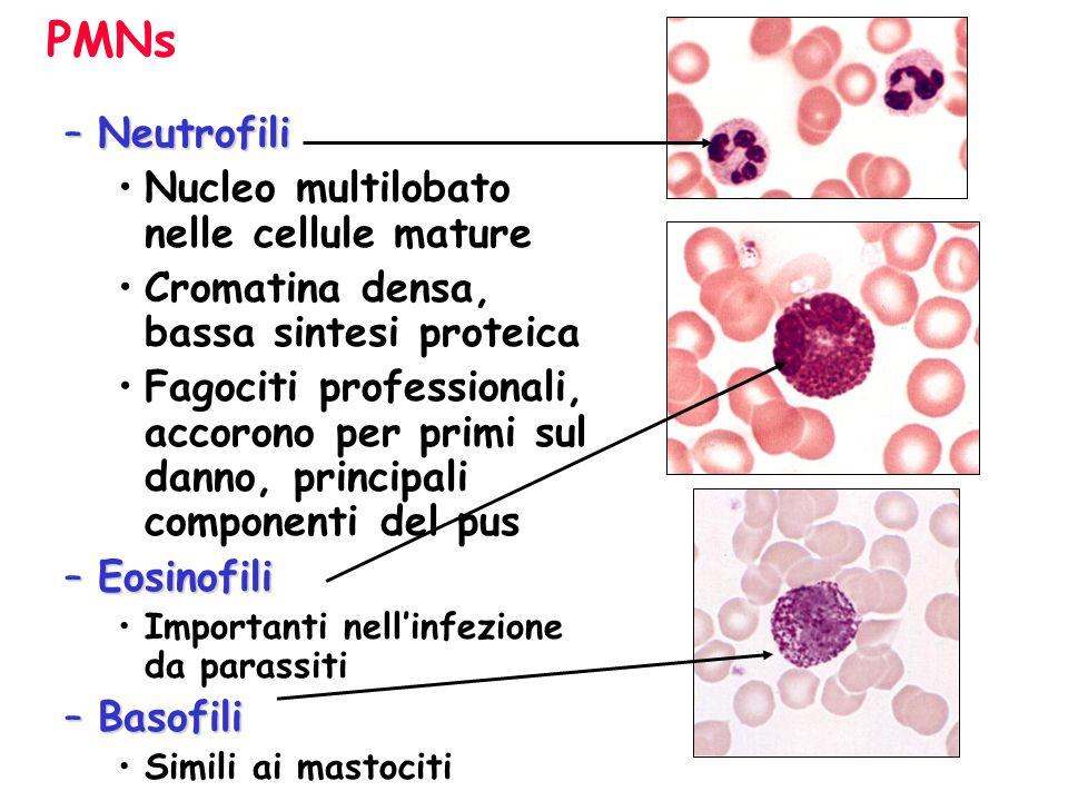 PMNs Neutrofili Nucleo multilobato nelle cellule mature