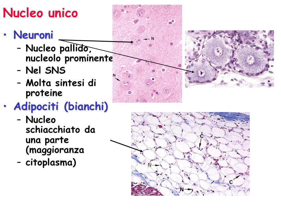 Nucleo unico Neuroni Adipociti (bianchi)