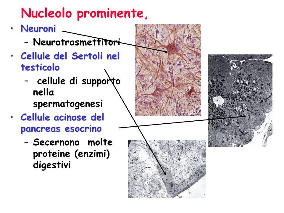 Nucleolo prominente, Neuroni Neurotrasmettitori
