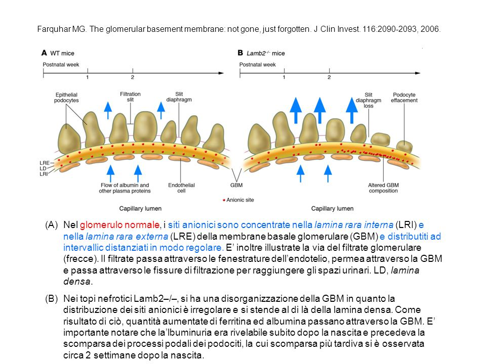 Farquhar MG. The glomerular basement membrane: not gone, just forgotten. J Clin Invest. 116:2090-2093, 2006.
