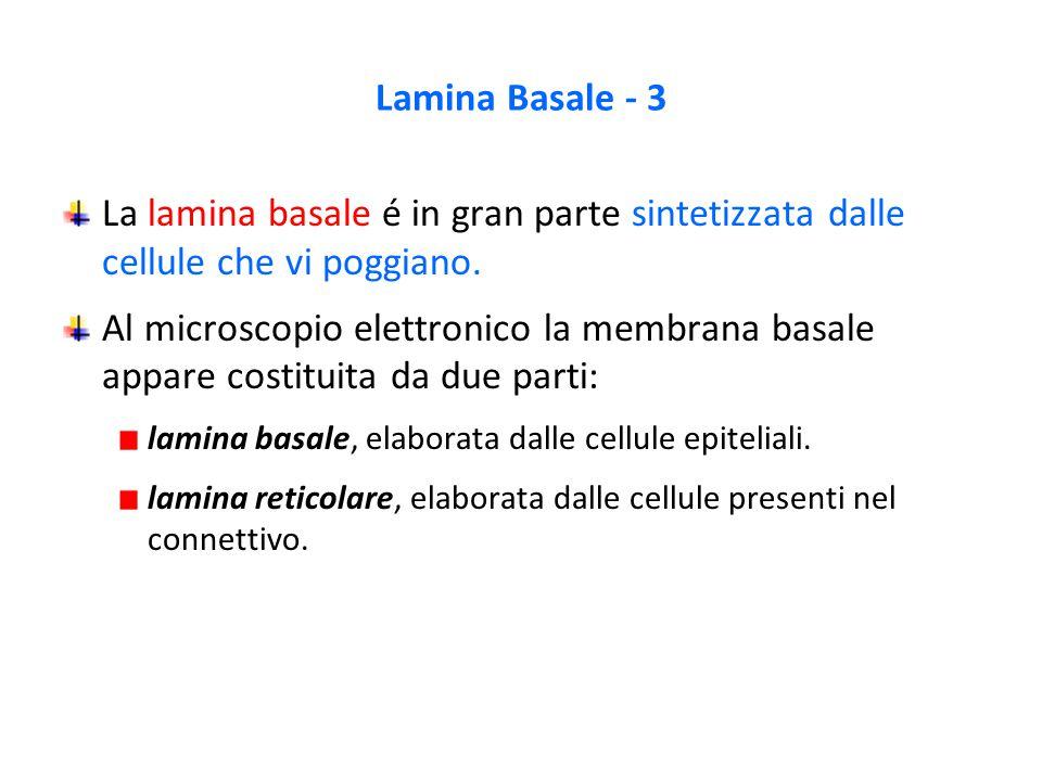 Lamina Basale - 3 La lamina basale é in gran parte sintetizzata dalle cellule che vi poggiano.