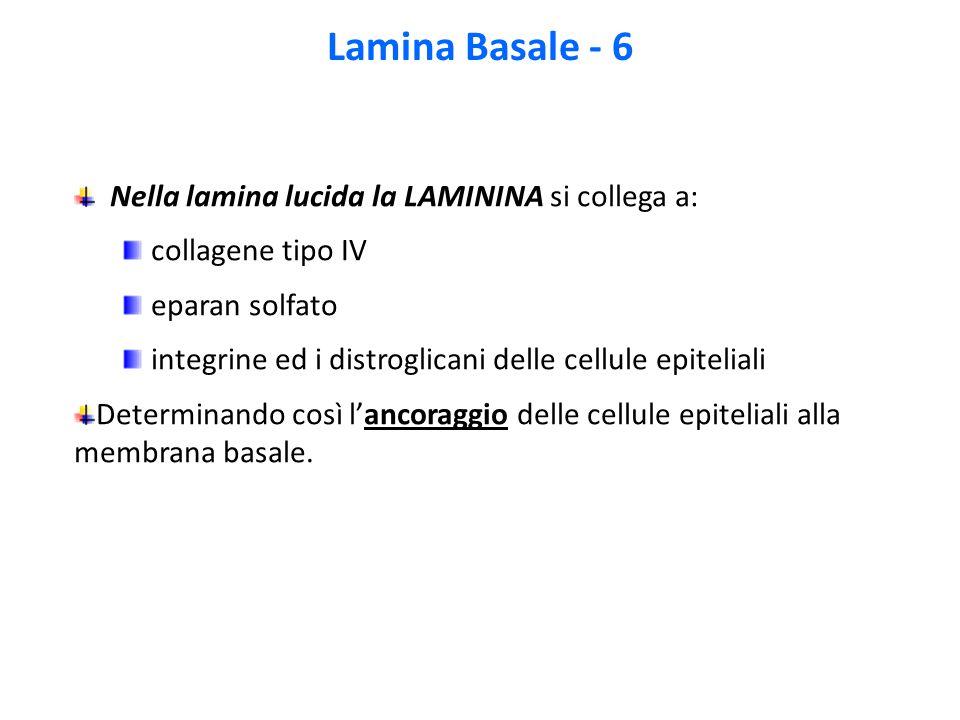 Lamina Basale - 6 Nella lamina lucida la LAMININA si collega a: