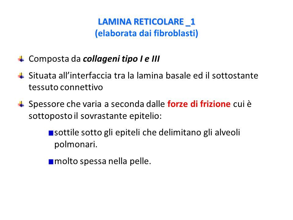 LAMINA RETICOLARE _1 (elaborata dai fibroblasti)