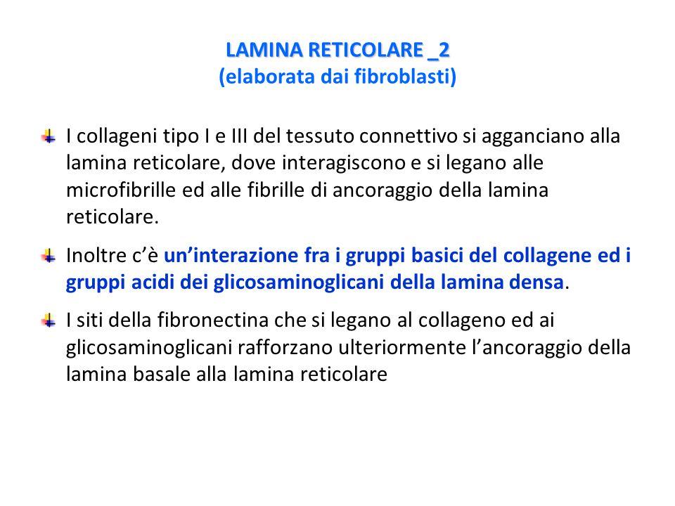 LAMINA RETICOLARE _2 (elaborata dai fibroblasti)