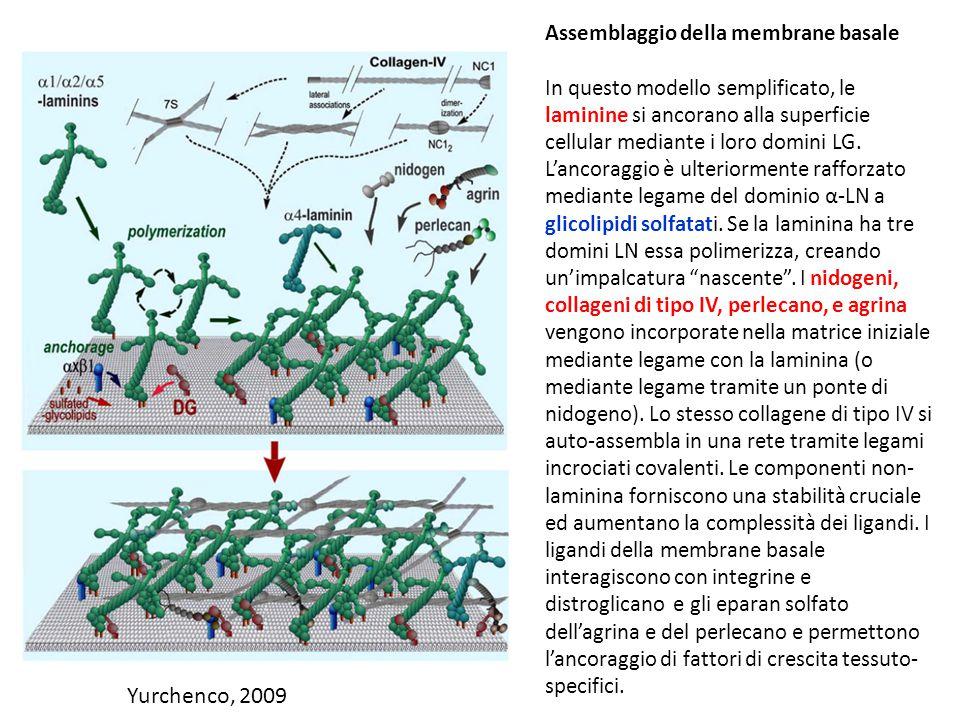 Yurchenco, 2009 Assemblaggio della membrane basale