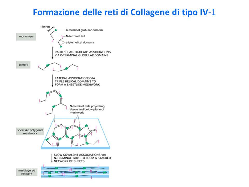 Formazione delle reti di Collagene di tipo IV-1