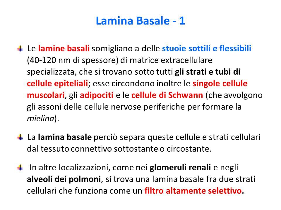 Lamina Basale - 1