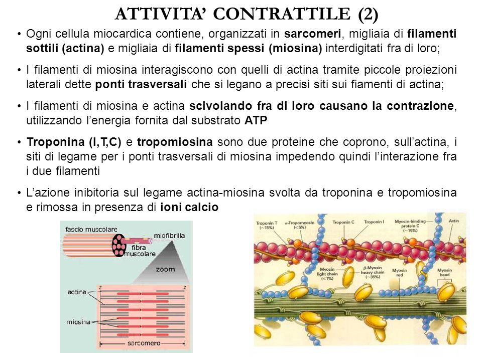 ATTIVITA' CONTRATTILE (2)