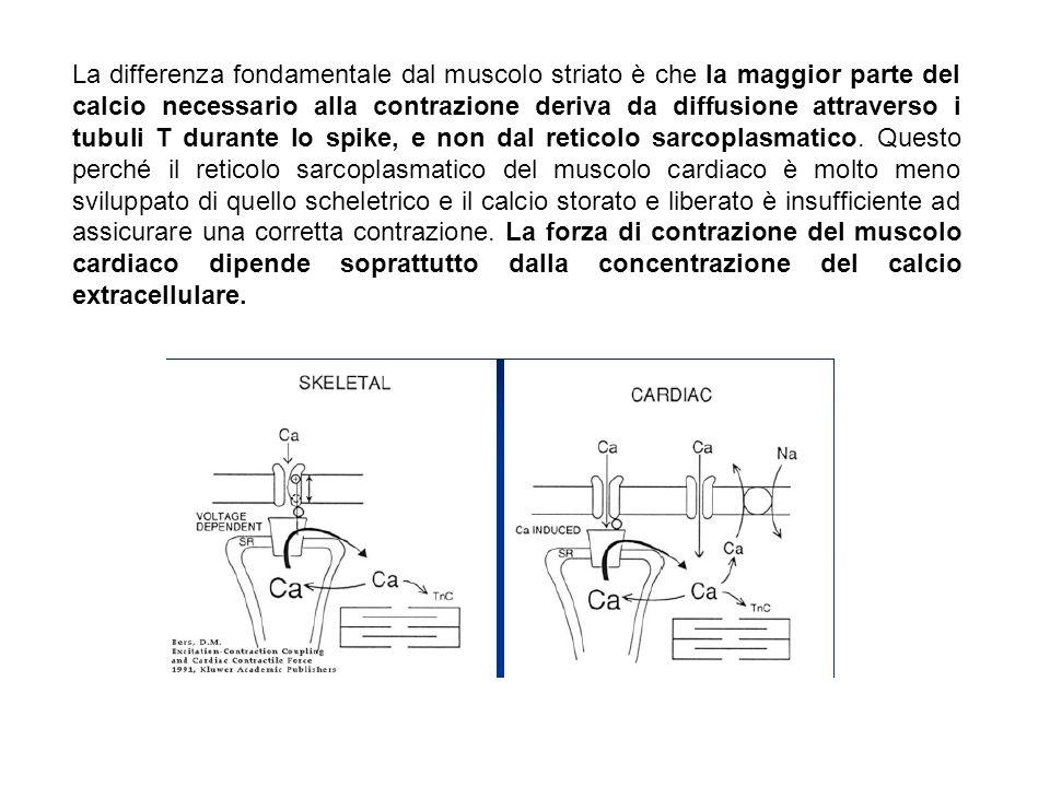 La differenza fondamentale dal muscolo striato è che la maggior parte del calcio necessario alla contrazione deriva da diffusione attraverso i tubuli T durante lo spike, e non dal reticolo sarcoplasmatico.