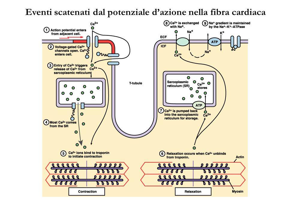 Eventi scatenati dal potenziale d'azione nella fibra cardiaca