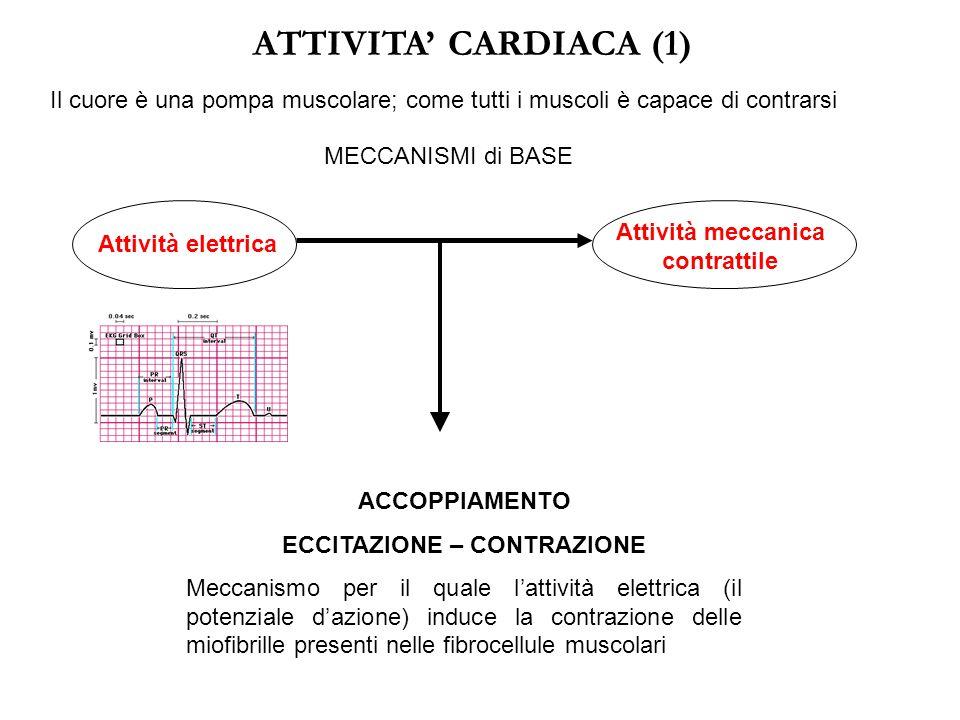 Attività meccanica contrattile ECCITAZIONE – CONTRAZIONE
