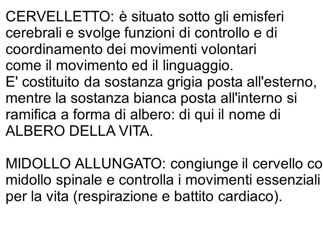 CERVELLETTO: è situato sotto gli emisferi cerebrali e svolge funzioni di controllo e di coordinamento dei movimenti volontari