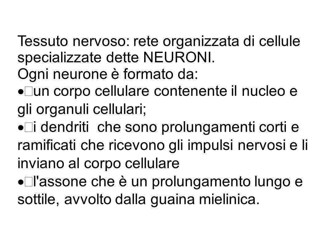 Tessuto nervoso: rete organizzata di cellule specializzate dette NEURONI.