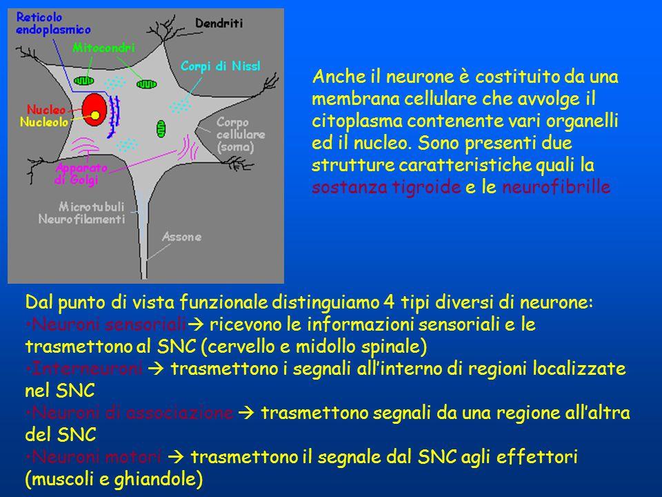 Anche il neurone è costituito da una membrana cellulare che avvolge il citoplasma contenente vari organelli ed il nucleo. Sono presenti due strutture caratteristiche quali la sostanza tigroide e le neurofibrille
