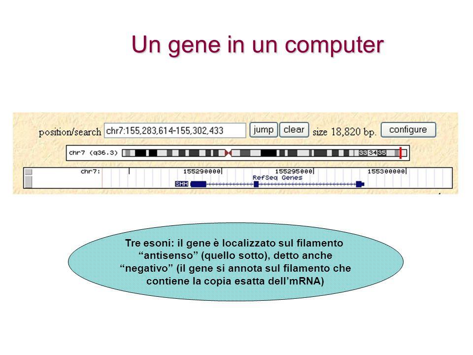 Un gene in un computer Tre esoni: il gene è localizzato sul filamento