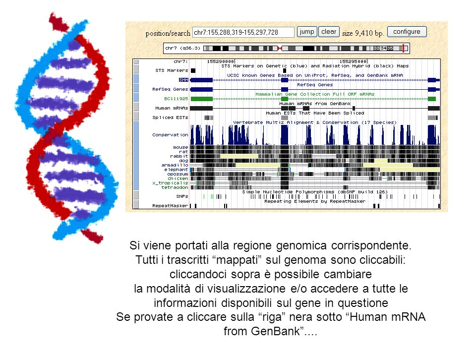 Si viene portati alla regione genomica corrispondente.