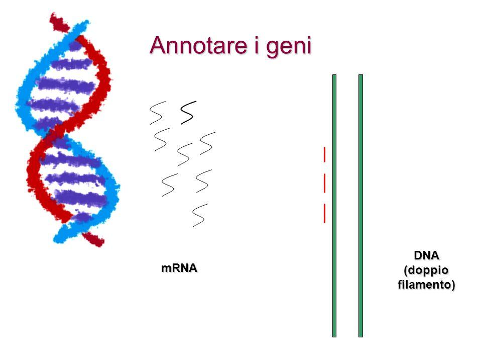 Annotare i geni DNA (doppio filamento) mRNA