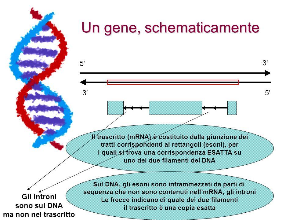 Un gene, schematicamente