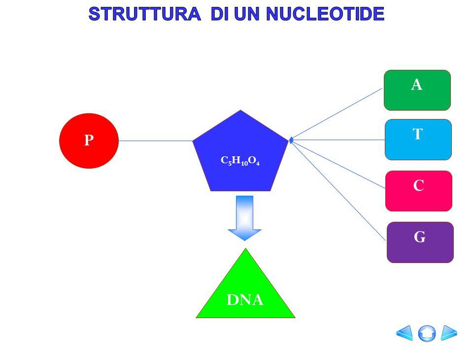 STRUTTURA DI UN NUCLEOTIDE