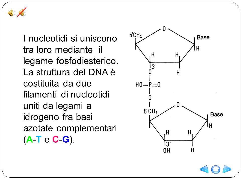 I nucleotidi si uniscono tra loro mediante il legame fosfodiesterico