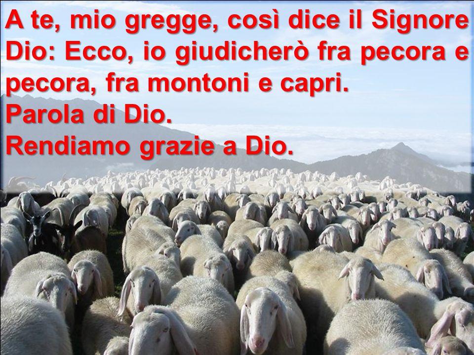 A te, mio gregge, così dice il Signore Dio: Ecco, io giudicherò fra pecora e pecora, fra montoni e capri.