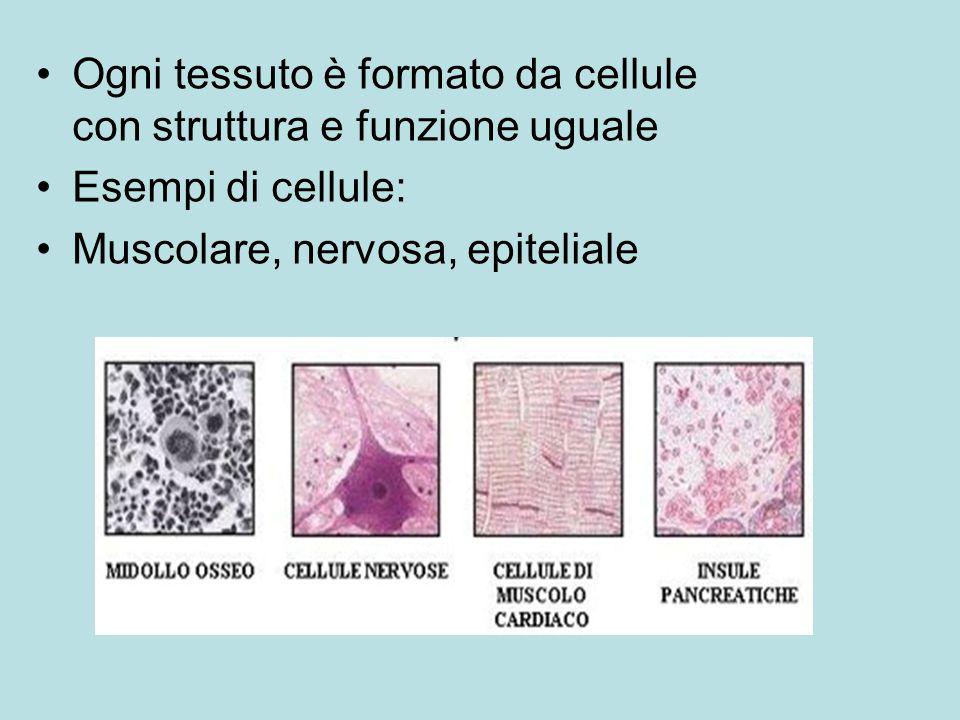Ogni tessuto è formato da cellule con struttura e funzione uguale