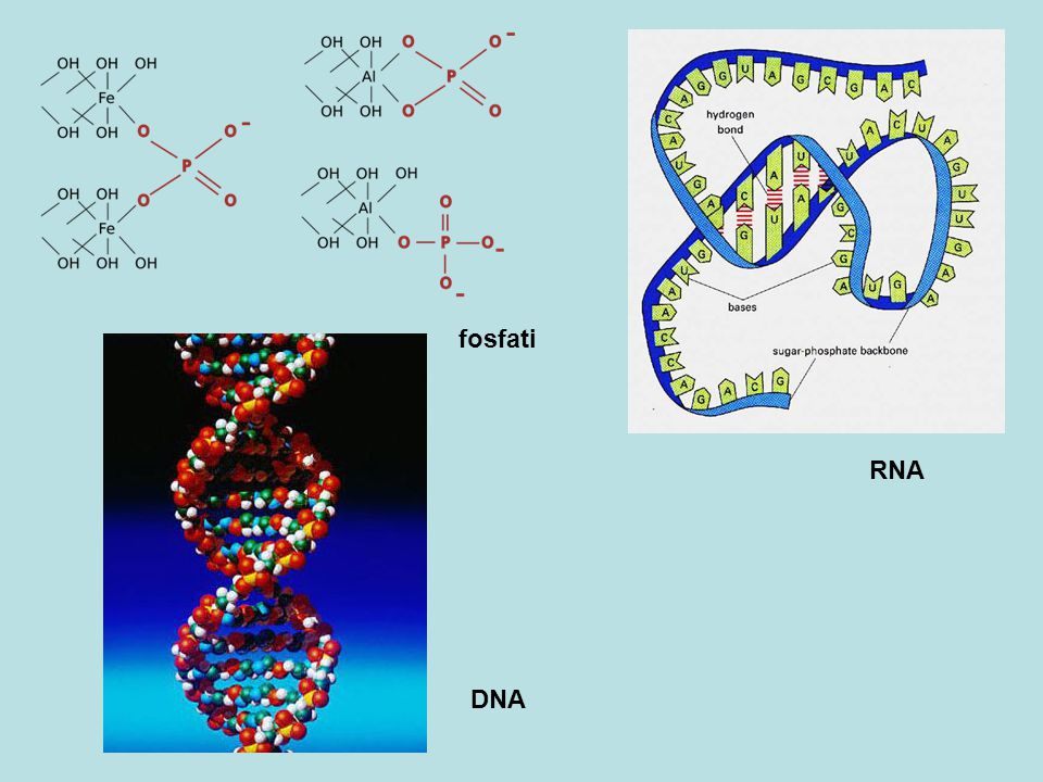 fosfati RNA DNA