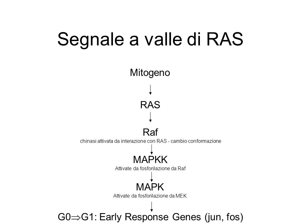 Segnale a valle di RAS Mitogeno RAS Raf MAPKK MAPK