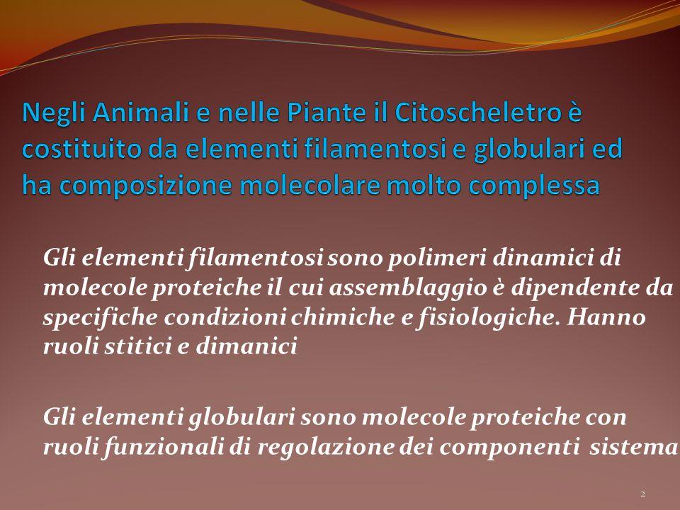 Negli Animali e nelle Piante il Citoscheletro è costituito da elementi filamentosi e globulari ed ha composizione molecolare molto complessa