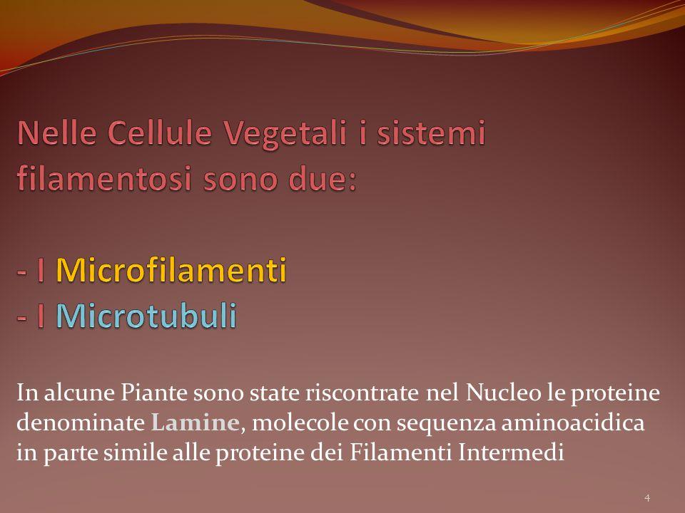 Nelle Cellule Vegetali i sistemi filamentosi sono due: - I Microfilamenti - I Microtubuli