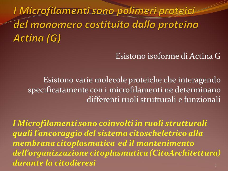 I Microfilamenti sono polimeri proteici del monomero costituito dalla proteina Actina (G)