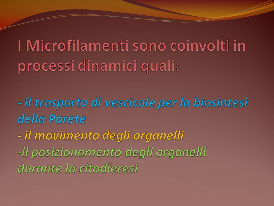 I Microfilamenti sono coinvolti in processi dinamici quali: - il trasporto di vescicole per la biosintesi della Parete - il movimento degli organelli -il posizionamento degli organelli durante la citodieresi