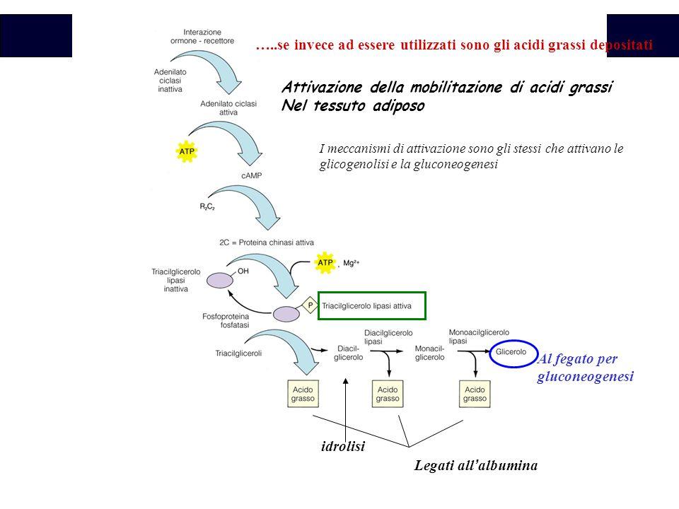 …..se invece ad essere utilizzati sono gli acidi grassi depositati