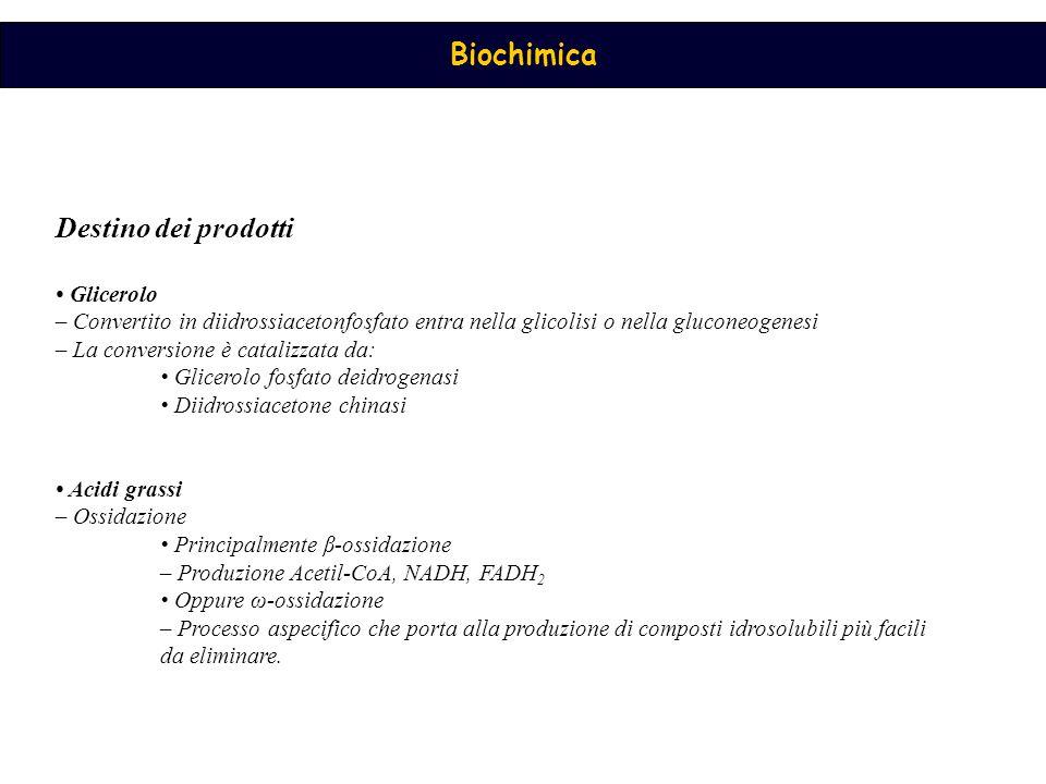 Destino dei prodotti • Glicerolo – Convertito in diidrossiacetonfosfato entra nella glicolisi o nella gluconeogenesi.