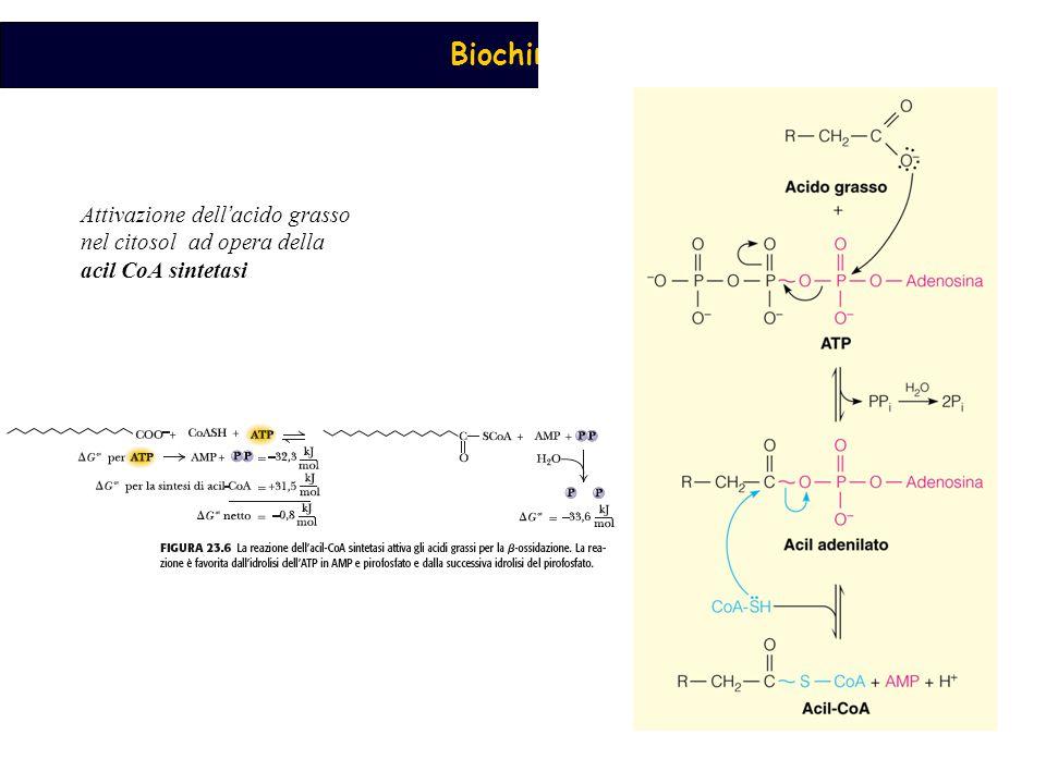 Attivazione dell'acido grasso nel citosol ad opera della acil CoA sintetasi