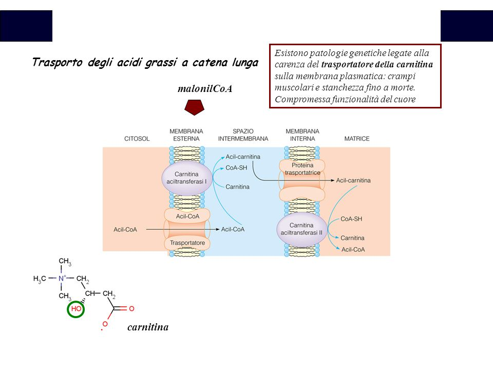 Trasporto degli acidi grassi a catena lunga