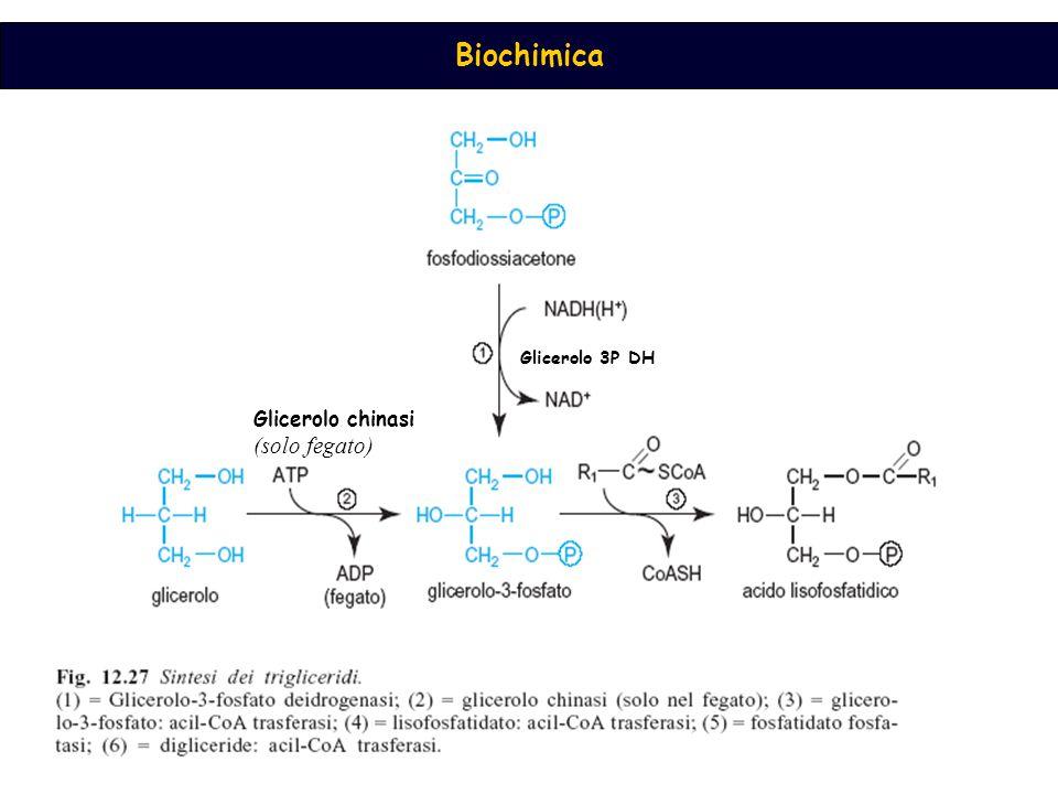 Glicerolo 3P DH Glicerolo chinasi (solo fegato)