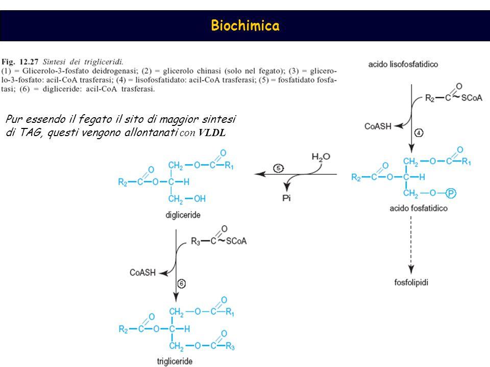 Pur essendo il fegato il sito di maggior sintesi di TAG, questi vengono allontanati con VLDL