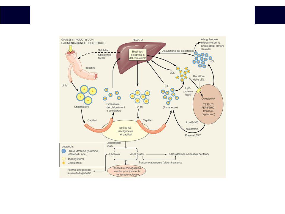 VLDL e chilomicroni sono molto simili dal punto di vista delle apolipoproteine, anche le VLDL rilasciate dal fegato raggiungono tessuti extraepatici per rilasciare il contenuto di acidi grassi. Le RIMANENZE delle VLDL tornano al fegato per essere rimosse e vengono captate dagli epatociti grazie alla presenza della apoproteina E, divengono LDLmolto ricche in colesterolo e apo B-100. le LDL tornano in circolo per trasportare colesterolo. Le cellule legano le LDL proprio grazie a apo B-100. il colesterolo trasporatto dalle LDL viene captato e utilizzato dalle cellule che espengono il specifico recettore sulla superficie cellulare. Sia la sintesi del recettore che l'inibizione della sintesi endogena sono influenzati dal colesterolo trasportato da LDL: