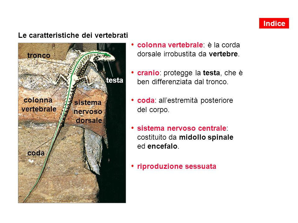 Le caratteristiche dei vertebrati