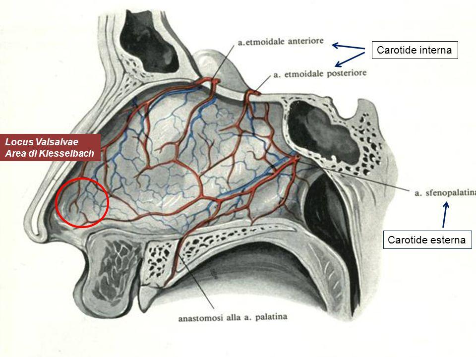 Carotide interna Locus Valsalvae Area di Kiesselbach Carotide esterna