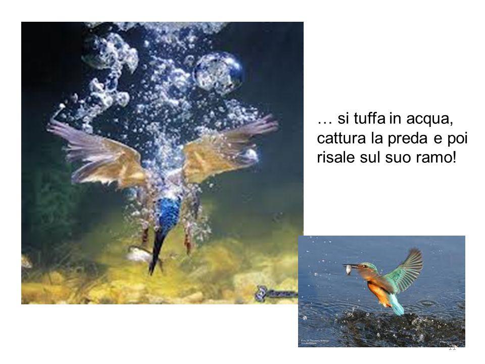 … si tuffa in acqua, cattura la preda e poi risale sul suo ramo!