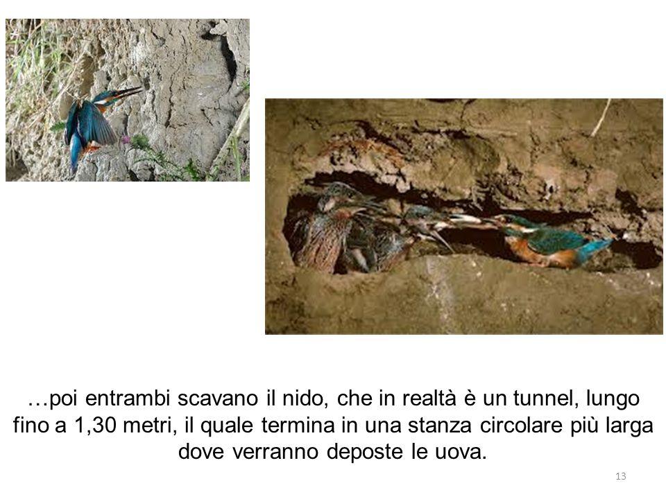 …poi entrambi scavano il nido, che in realtà è un tunnel, lungo fino a 1,30 metri, il quale termina in una stanza circolare più larga dove verranno deposte le uova.